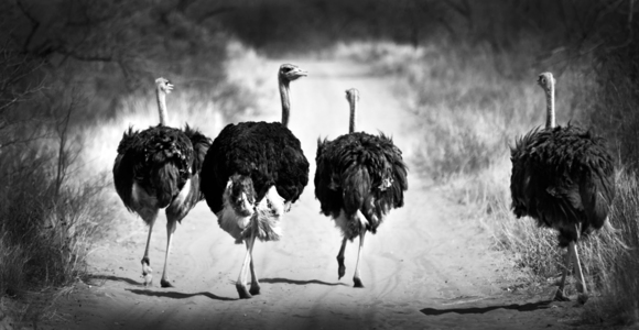 Ostriches_South Africa
