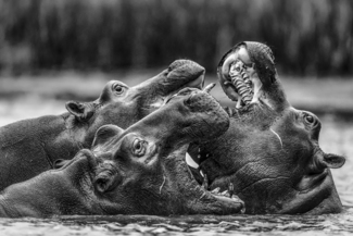 Fighting Hippos