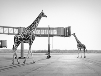 Lost Animals, Giraffes in Zurich