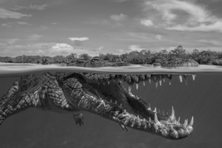Peering Crocodile