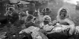 Snow Monkeys in hot water