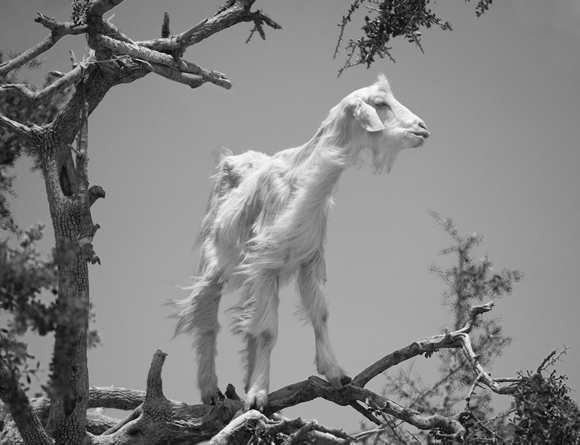 Goat in argan tree