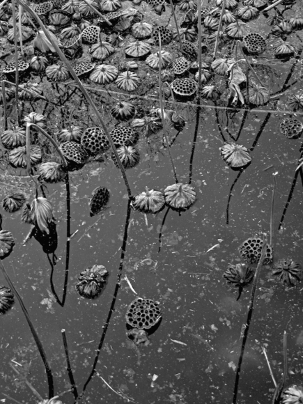 Untitled (Dead Lotus Flowers and Pods)