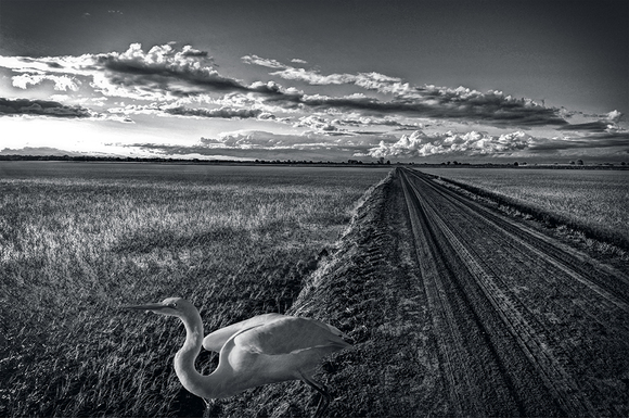 Northern California Rice Fields with Egret