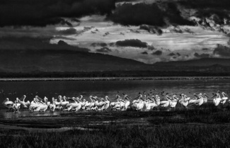 Pelicans at Lake Nakuru