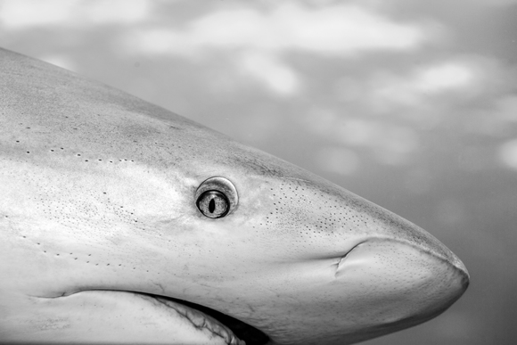 Caribbean Reef Shark Portrait