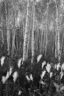Birch Trees near Harbin, China