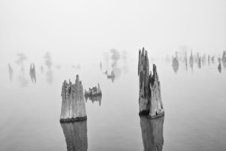 Foggy Cypress Stumps