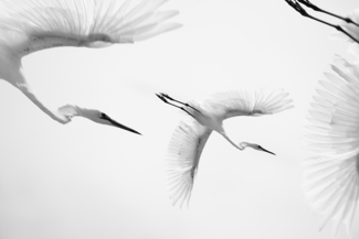 Little Egrets In Flight