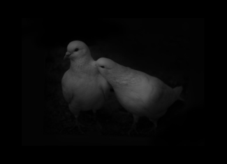 PIGEON COUPLE 01