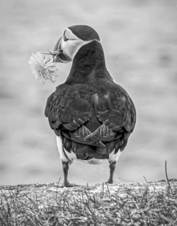 Puffin with Flower