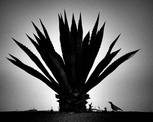 under the blue agave
