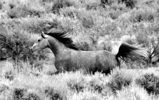 Galloping in Sagebrush