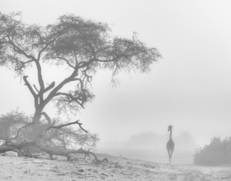 Giraffe In The Mist