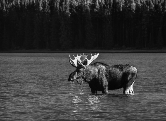 Moose Maligne Lake 2658