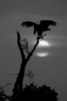 Vulture's Moon