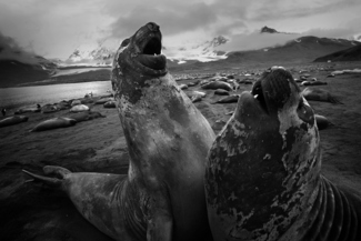 Elephant seals fightng