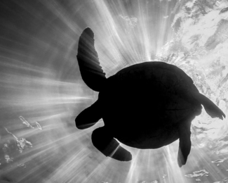 Turtle Eclipse