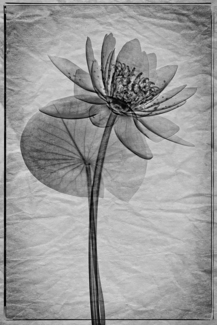 Water Lily Xray