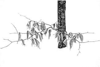 LATENT LEAVES IN SNOW