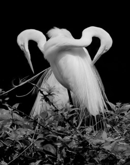 2 Great Egrets #6