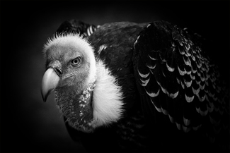 R�ppell's Vulture: After a shower