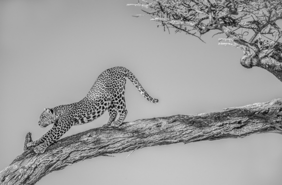 Short Tailed Leopard