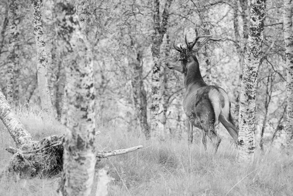 Norwegian Deer
