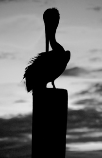 Sunset Pelican