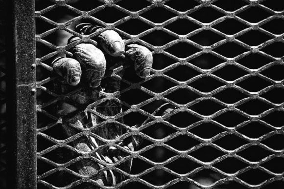 Caged Chimp