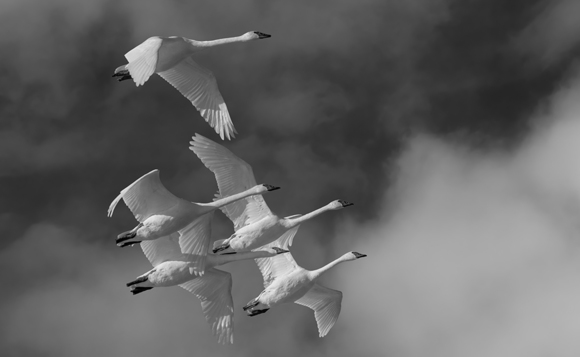 Close Formation, Trumpeter Swans