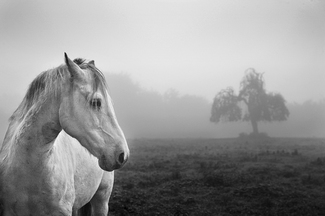 Horse and Tree in Fog