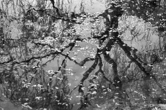 Reflected Tree, Fallen Blossoms, <br />Jingan Park, Shanghai