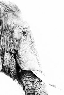 Portrait of an Elephant (1)