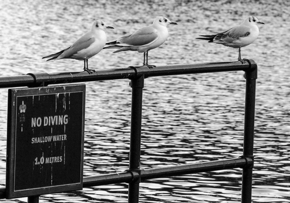Dilemma for gulls