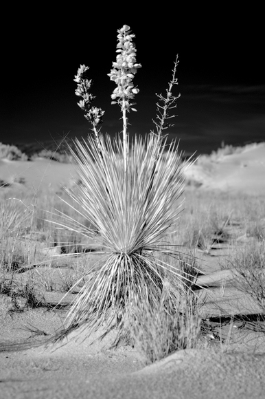 Infrared White Sands Yucca