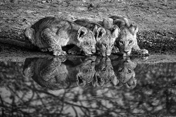 3 Cubs Drinking