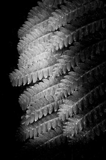 Fern Leaves With Dew