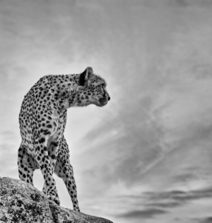 Cheetah Overlooking Hunting Grounds