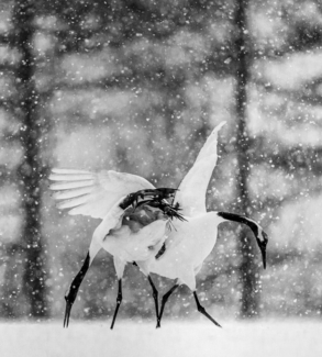 Snow dance of cranes