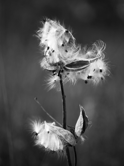 Milkweed, Maine, USA