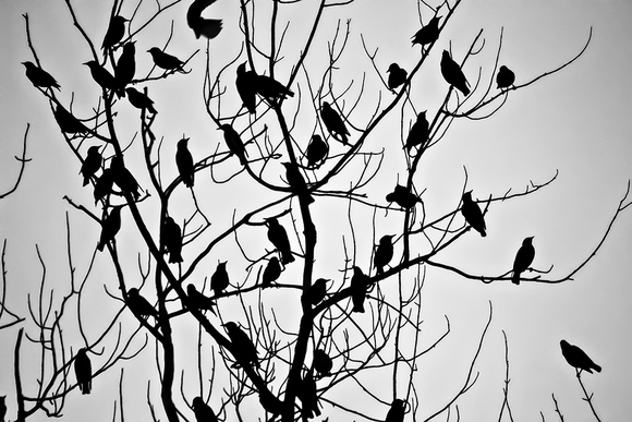 Blackbirds singin' in a tall oak tree
