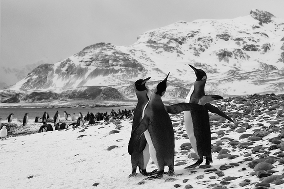 King Penguins on Island of South Georgia