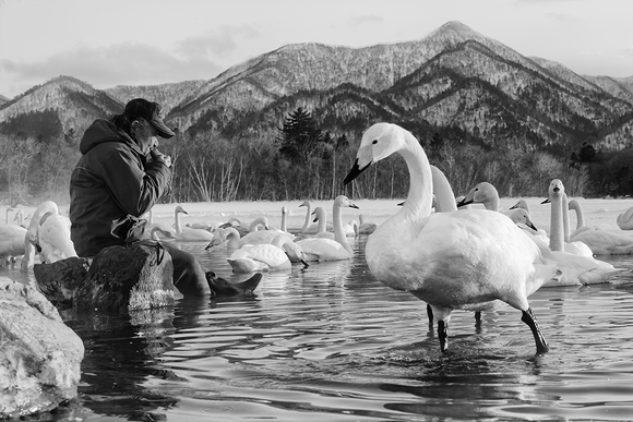 Flautist and the Whooper Swans