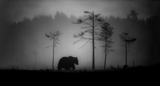 Brown Bear in morning mist