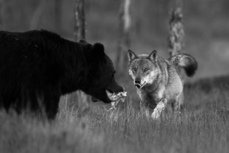 Wolf and Brown Bear