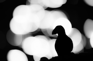 Puffin in Backlight
