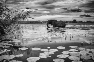 Elephant crossing waterlilies