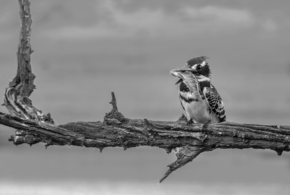 Pied Kingfisher with Meal
