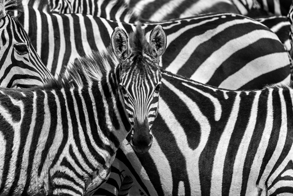Zebras Lost in Pattern